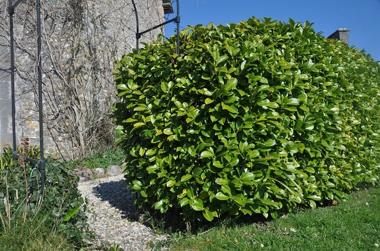 What Are Some Fast Growing Hedges?