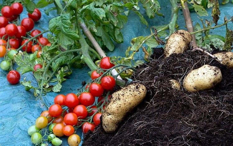 How To Grow Pomato Plants