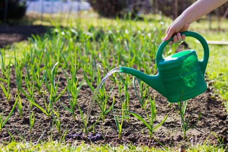 WHEN TO WATER YOUR VEGETABLE GARDEN