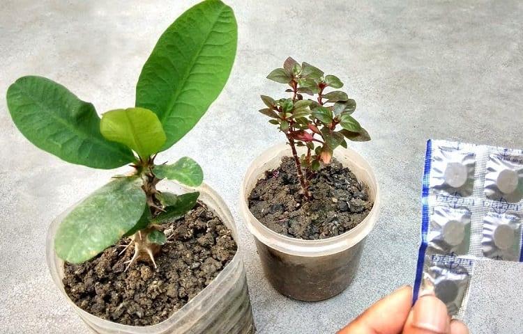 aspirin for plant grow