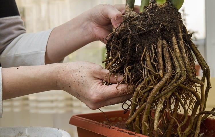 benefits of root hormones