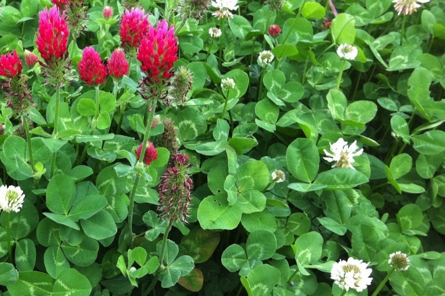 The Best Types of Clover To Help You With Nitrogen Fixation