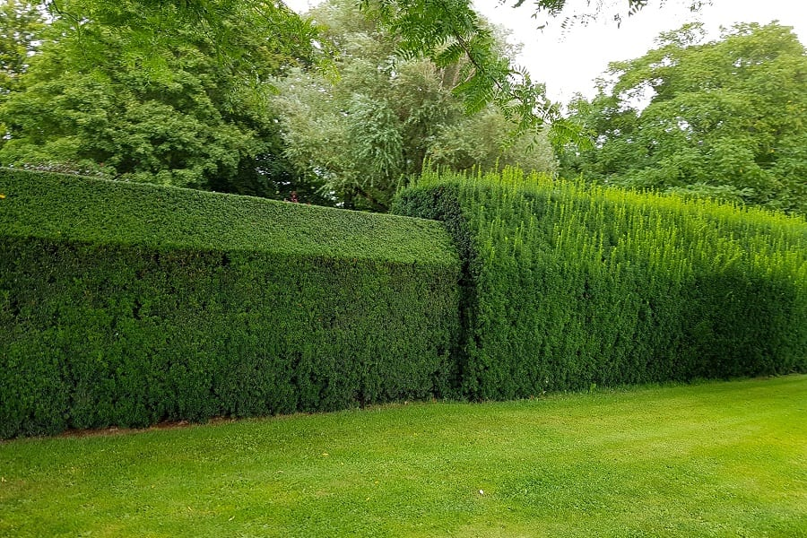 how to trim and prune your hedge