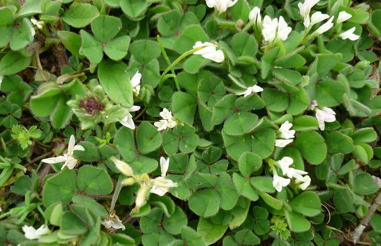 subterranean clover