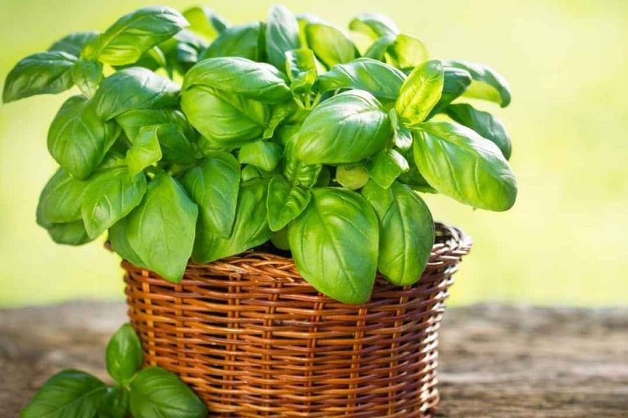 Basil Plant Wilting