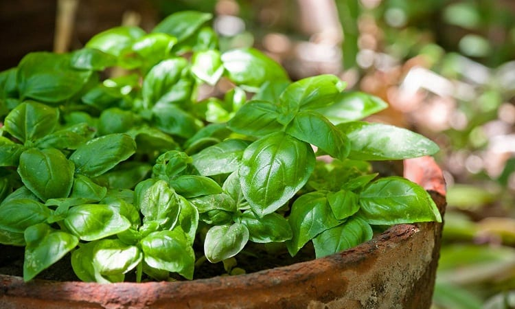 The Trend of Home-Grown Basil