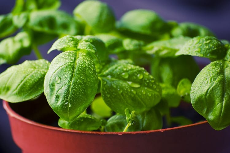 The Easy Way to Wilt-Free Basil