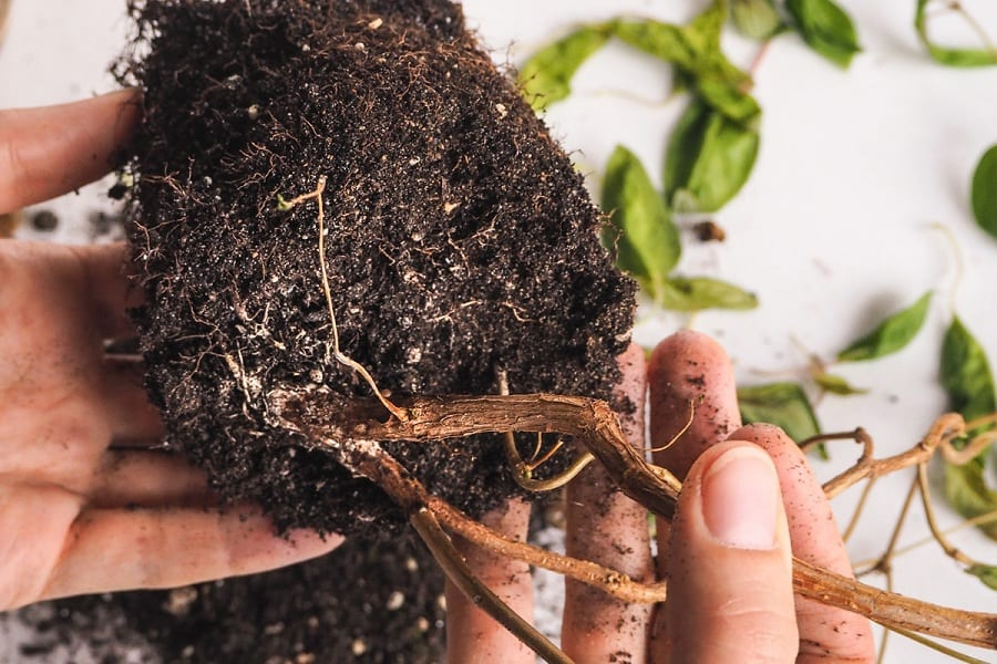 Root Rot – Everything You Need To Know