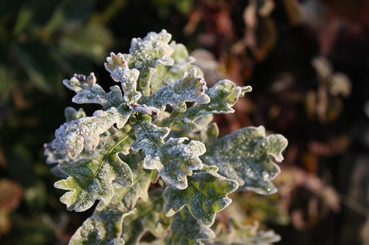Why Does Frost Hurt Plants?