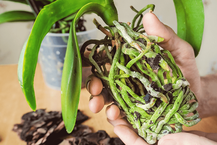 Say Goodbye to Root Rot