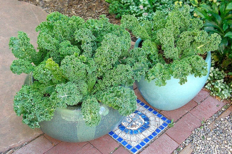 Fertilization for Kale Plants
