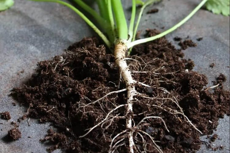 How to Treat Root Rot