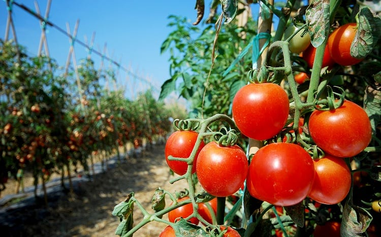 WHAT DOES BAKING SODA DO FOR TOMATO PLANTS?
