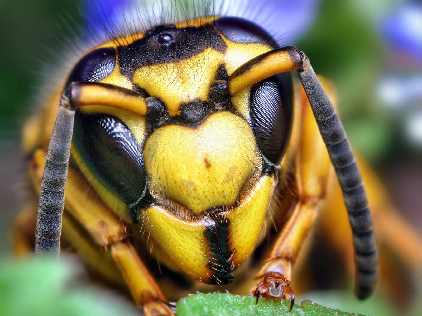 Face of a Southern Yellowjacket Queen